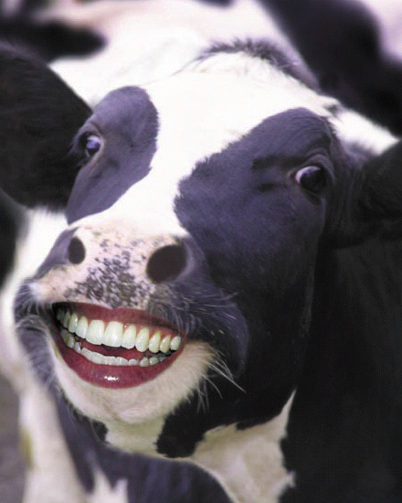 Cow Smile